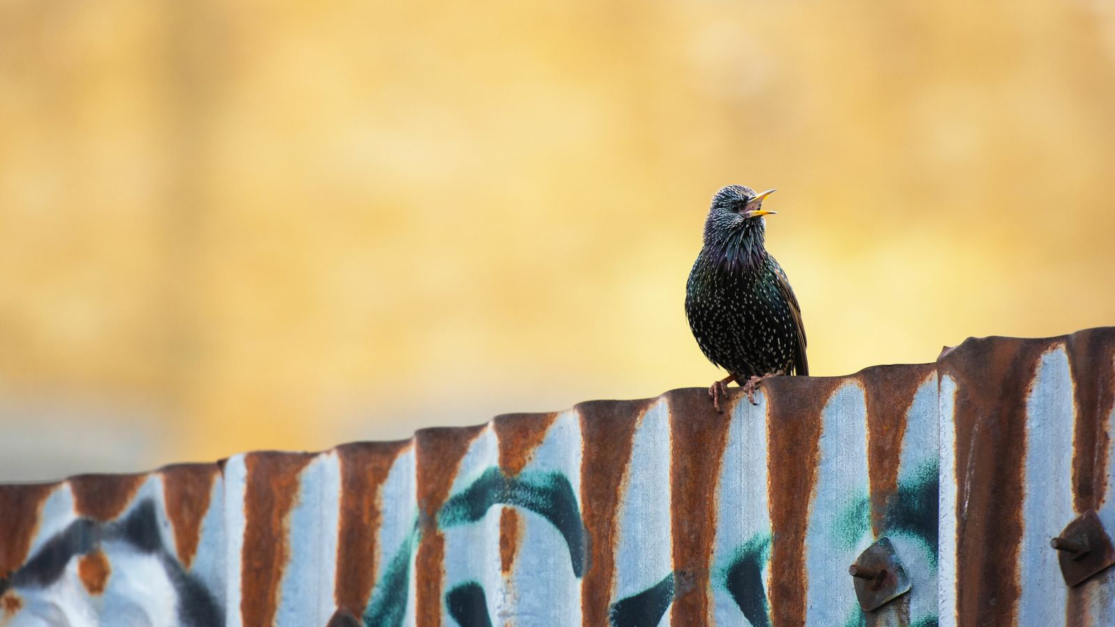 Starlings are usually found in groups: during autumn and winter, they can be seen in enormous ...
