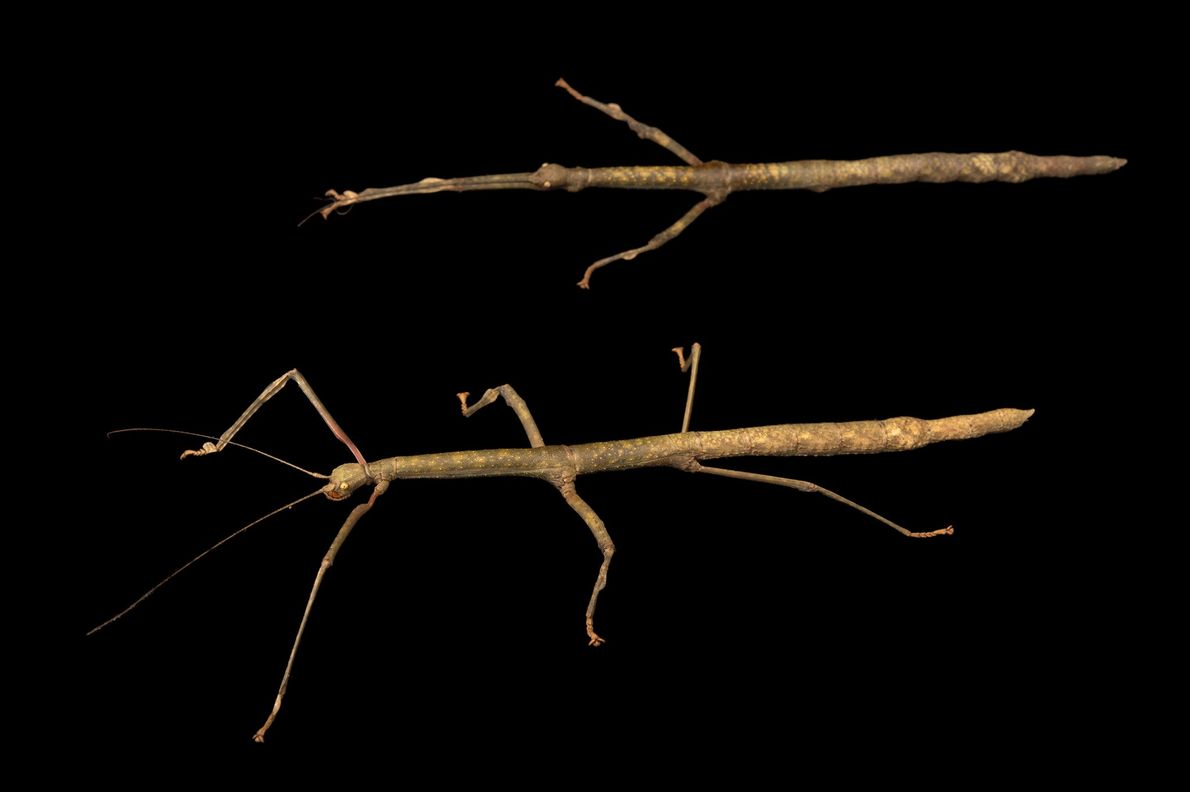 Gray's Malayan stick insects (Lonchodes brevipes) photographed at Houston Zoo in Texas