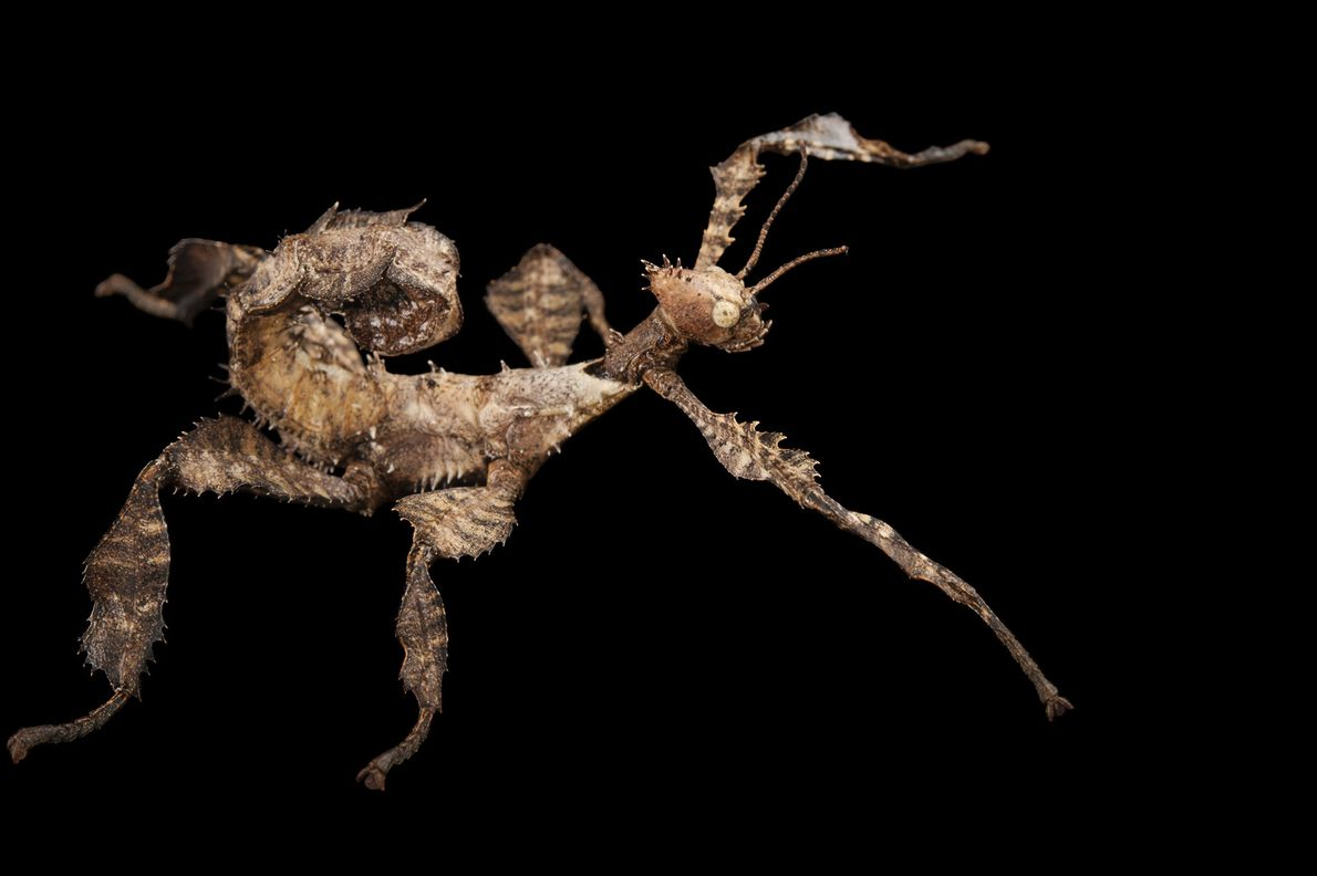 A giant prickly stick insect (Extatosoma tiaratum) photographed at Omaha's Henry Doorly Zoo and Aquarium in ...