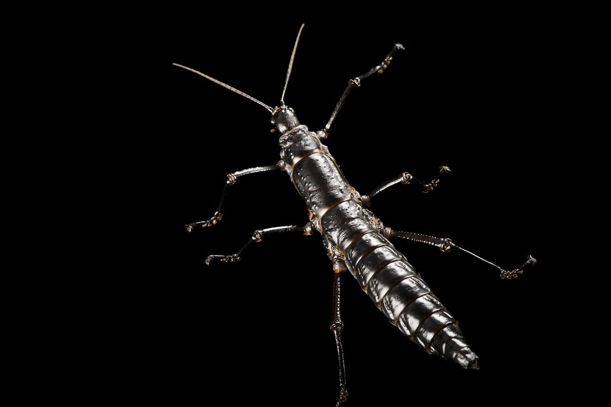 A Lord Howe Island stick insect (Dryococelus australis) photographed at Melbourne Zoo in Australia ...