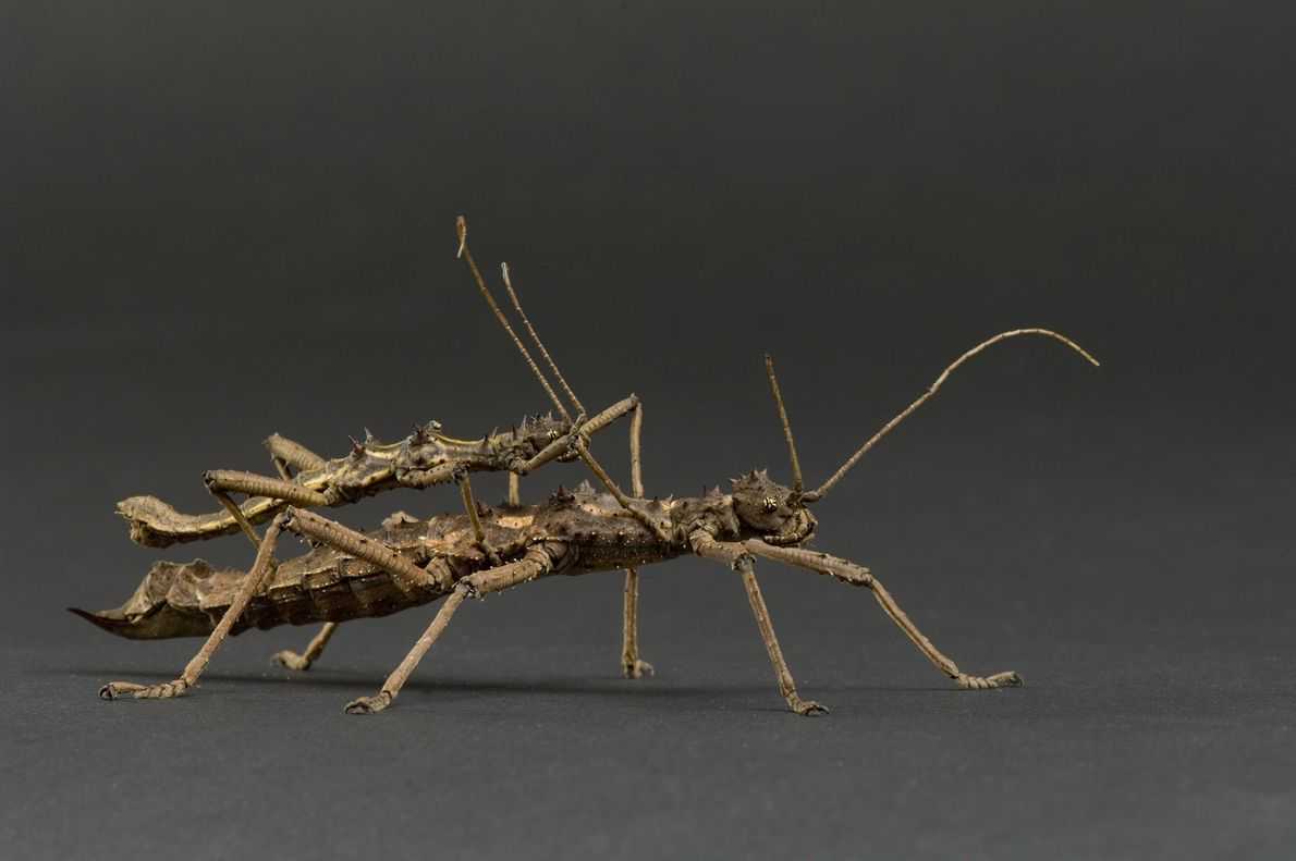 Two mating thorny stick insects (Aretaon asperrimus) photographed at Rolling Hills Wildlife Adventure in Salina, Kansas