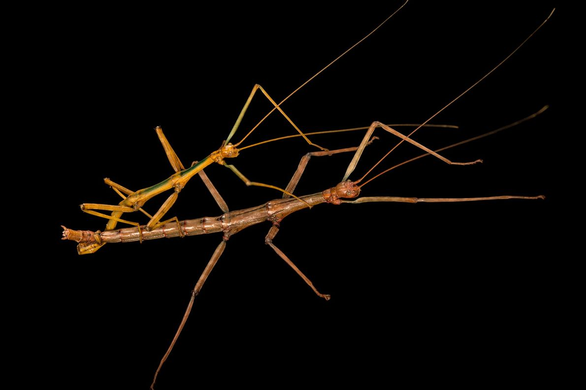 Two mating giant walking sticks (Megaphasma dentricus) photographed at Dallas Zoo in Texas