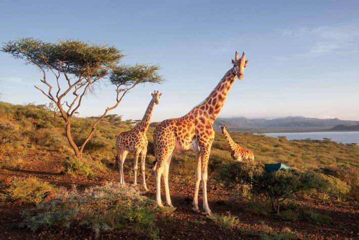 explore-05.21-giraffes-original-habitat