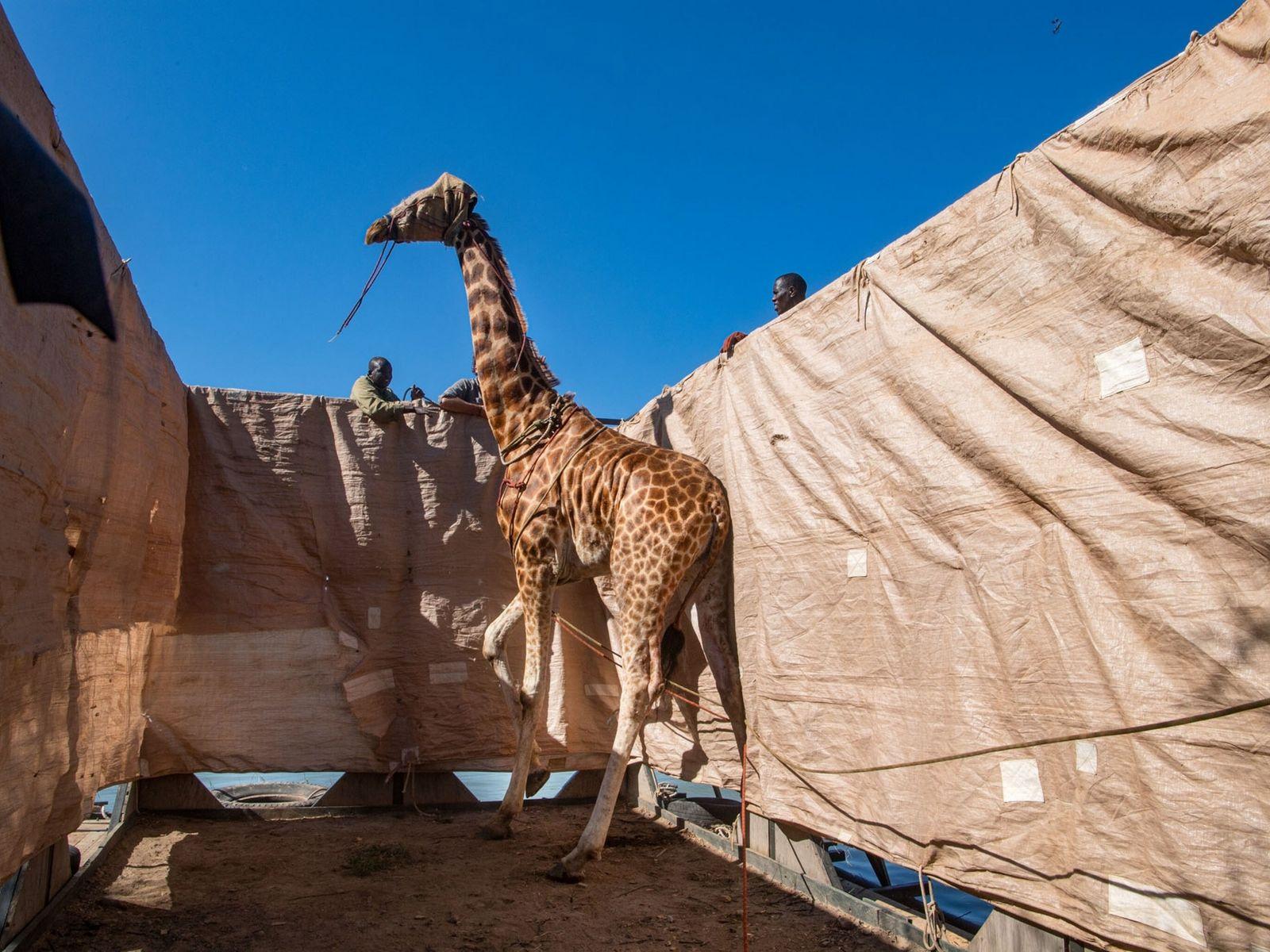 Asiwa, one of eight Rothschild's giraffes stranded on a rapidly shrinking island inside Kenya's Lake Baringo, ...