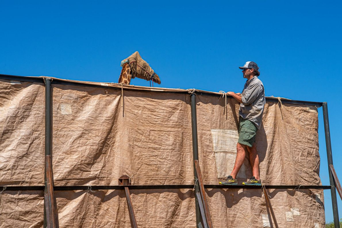 David O'Connor, president of the nonprofit Save Giraffes Now, comforts Asiwa as she is transported by ...