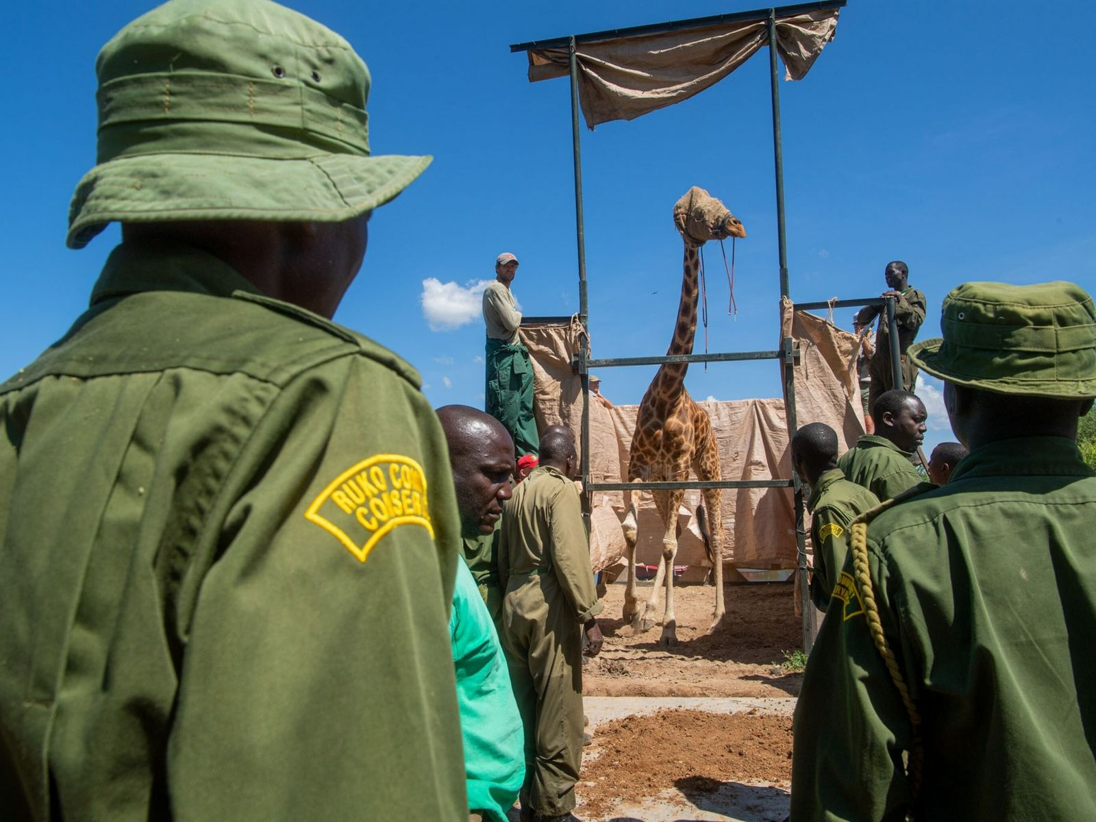 Rangers from the community-run Ruko Conservancy watch Asiwa step off the barge and into her new ...