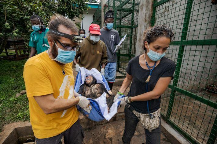 After Shabunda's health check, Luis Flores (at left), Lwiro's head veterinarian, and Vélez del Burgo (at ...