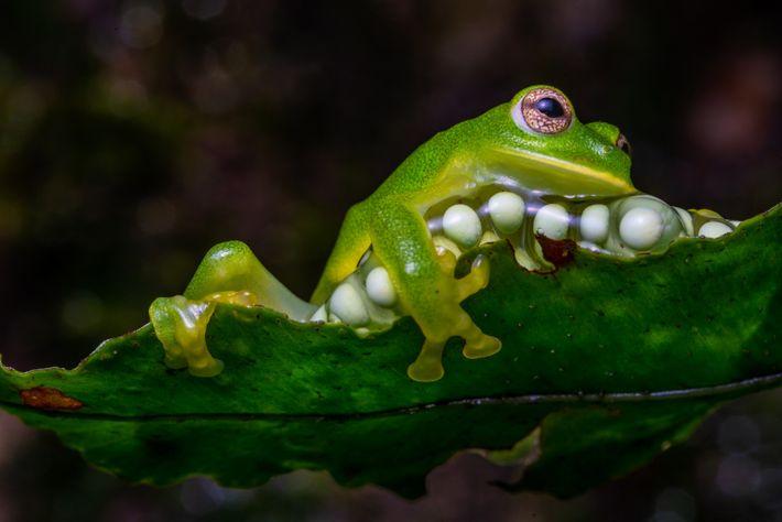 A female Magdalena giant glass frog (Ikakogi tayrona) covers her eggs in the Sierra Nevada de ...