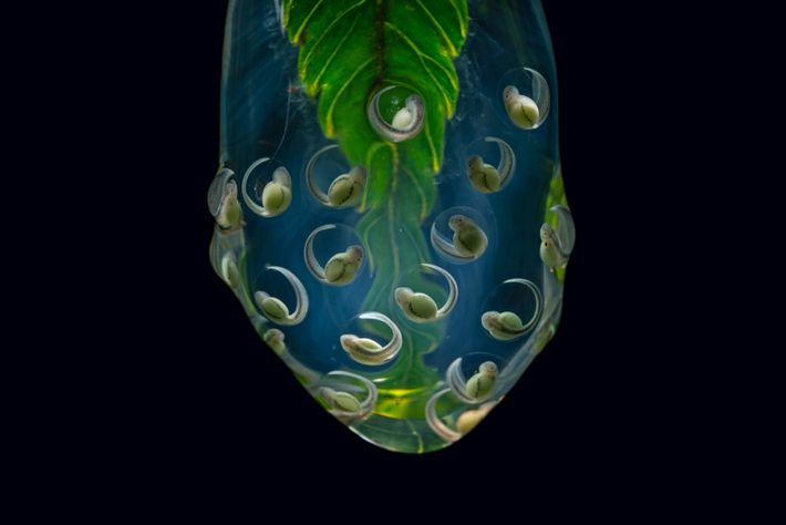 Embryos of the Wiley's glass frog (Nymphargus wileyi), endemic to Ecuador's eastern Andes, hang from the ...