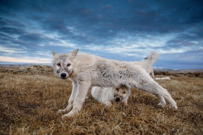 A 12-week-old pup stretches in the September twilight after feeding on a fresh muskox carcass. Now ...