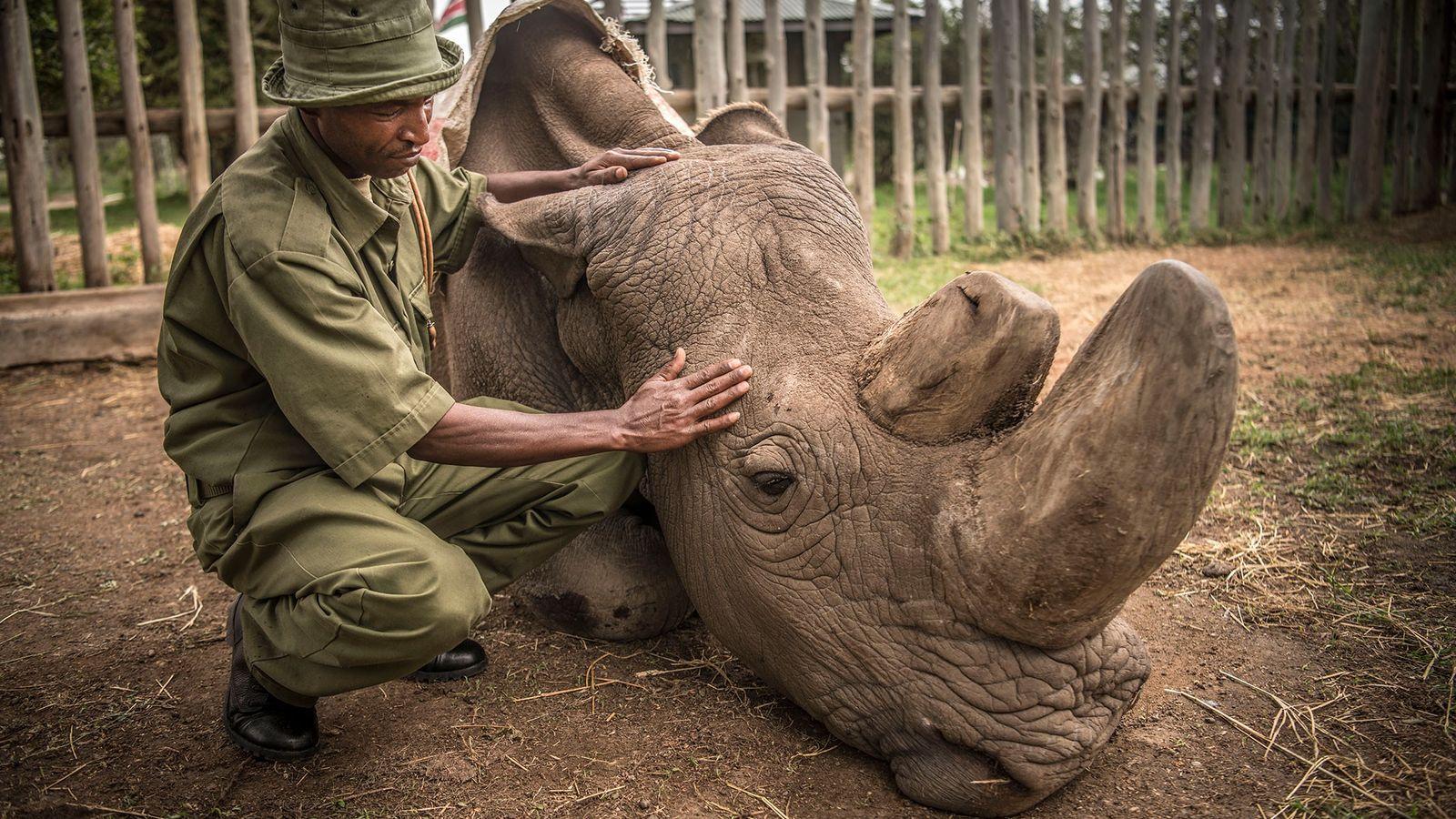 Wildlife ranger Zacharia Mutai comforts Sudan, the last living male Northern White Rhino left on the ...
