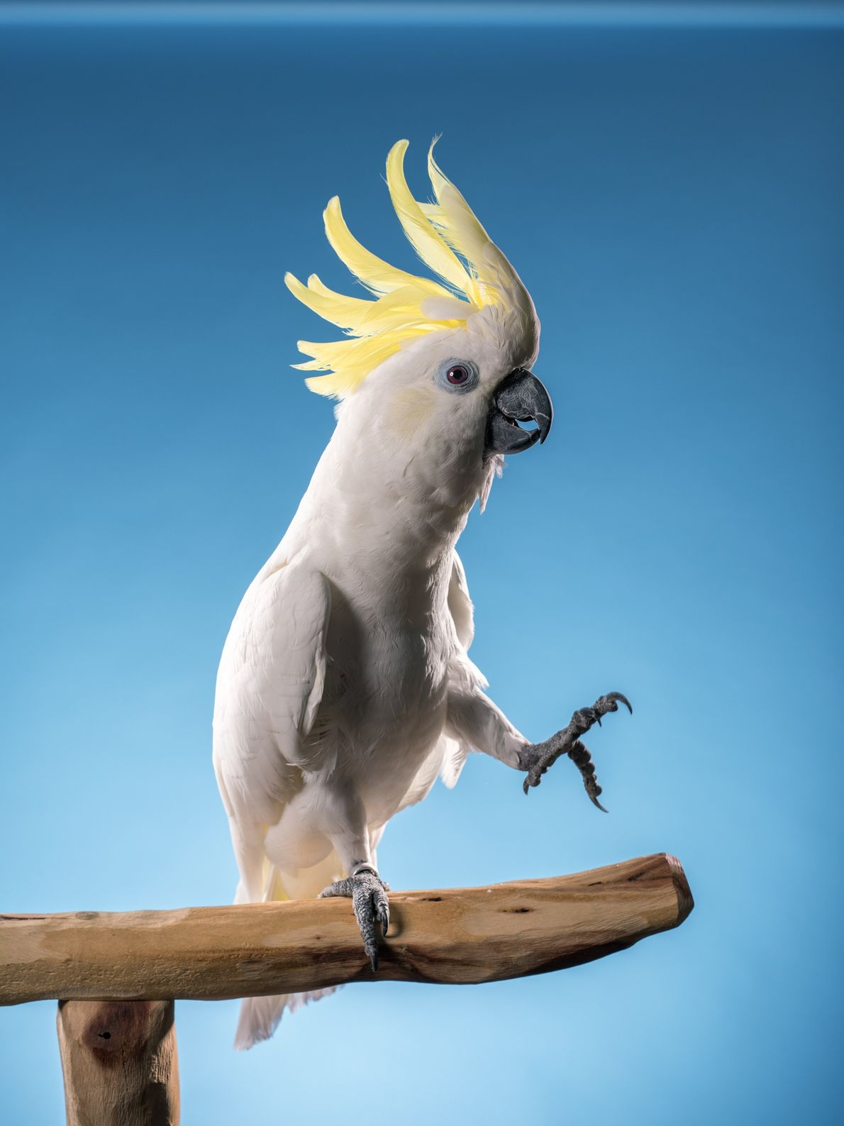 A 2009 study showed that sulphur-crested cockatoos, like the one seen here, can synchronise their movements ...