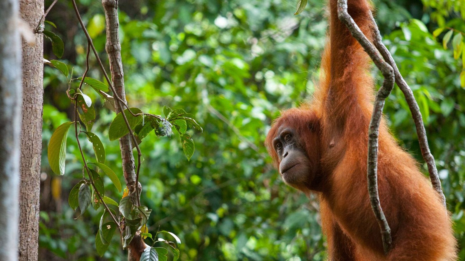 A Sumatran orangutan mother