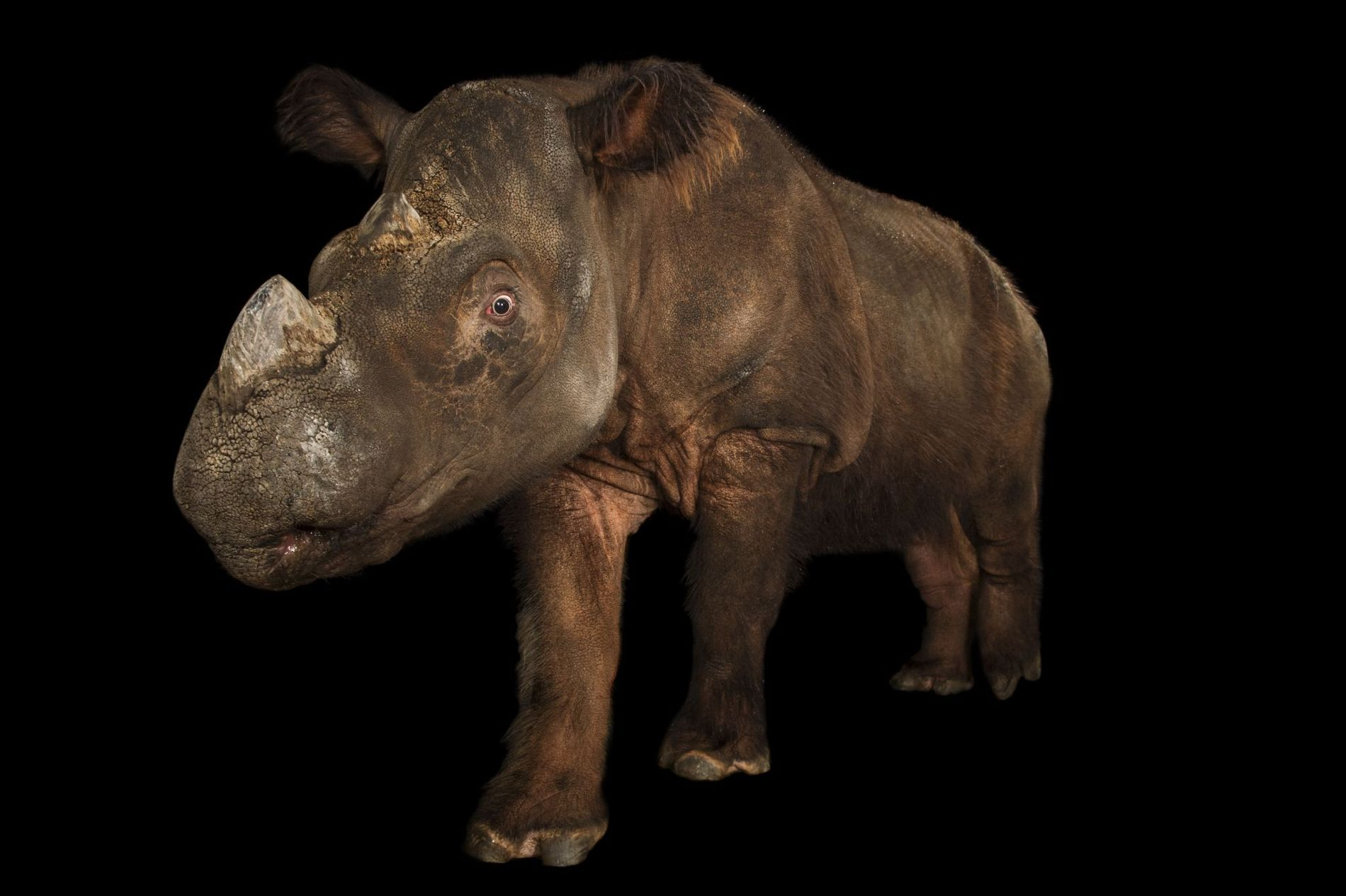 This critically endangered Sumatran rhinoceros was photographed at Cincinnati Zoo in Ohio. In the wild, there ...