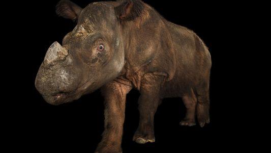 First wild Sumatran rhino captured in urgent bid to save species