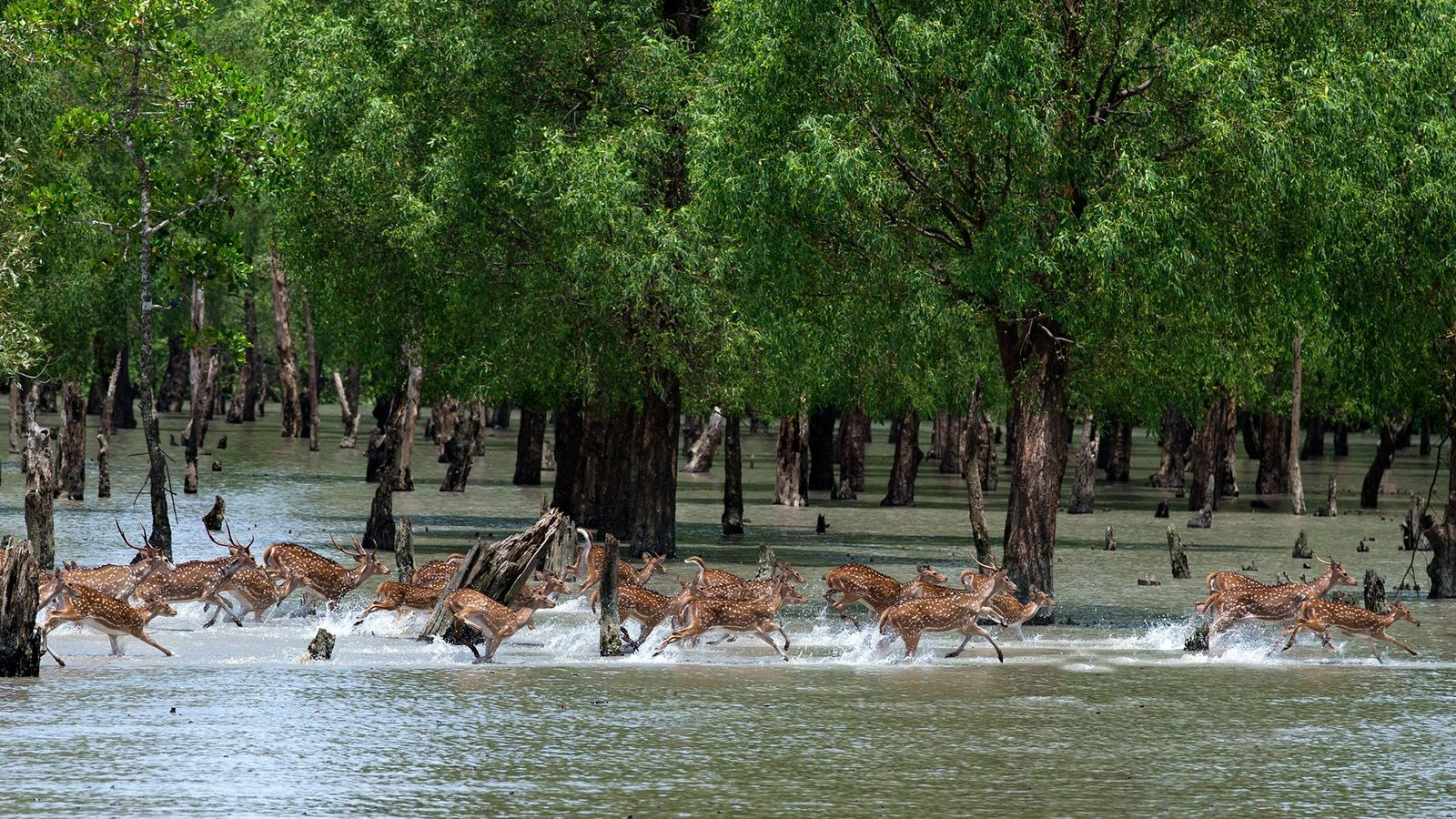 Spotted deer move through the Sundarbans in Bangladesh.