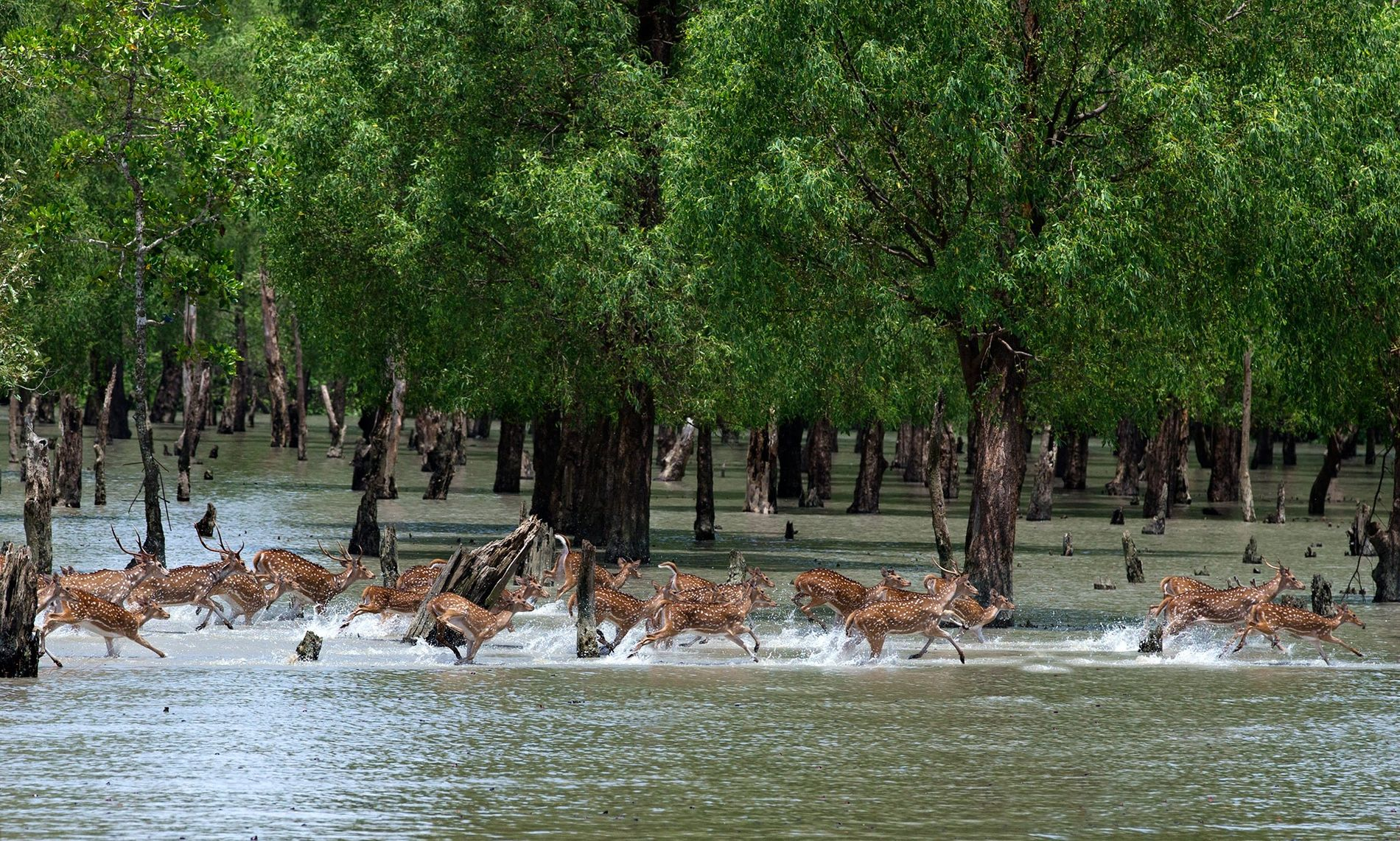 Spotted deer move through the Sundarbans in Bangladesh.  ...