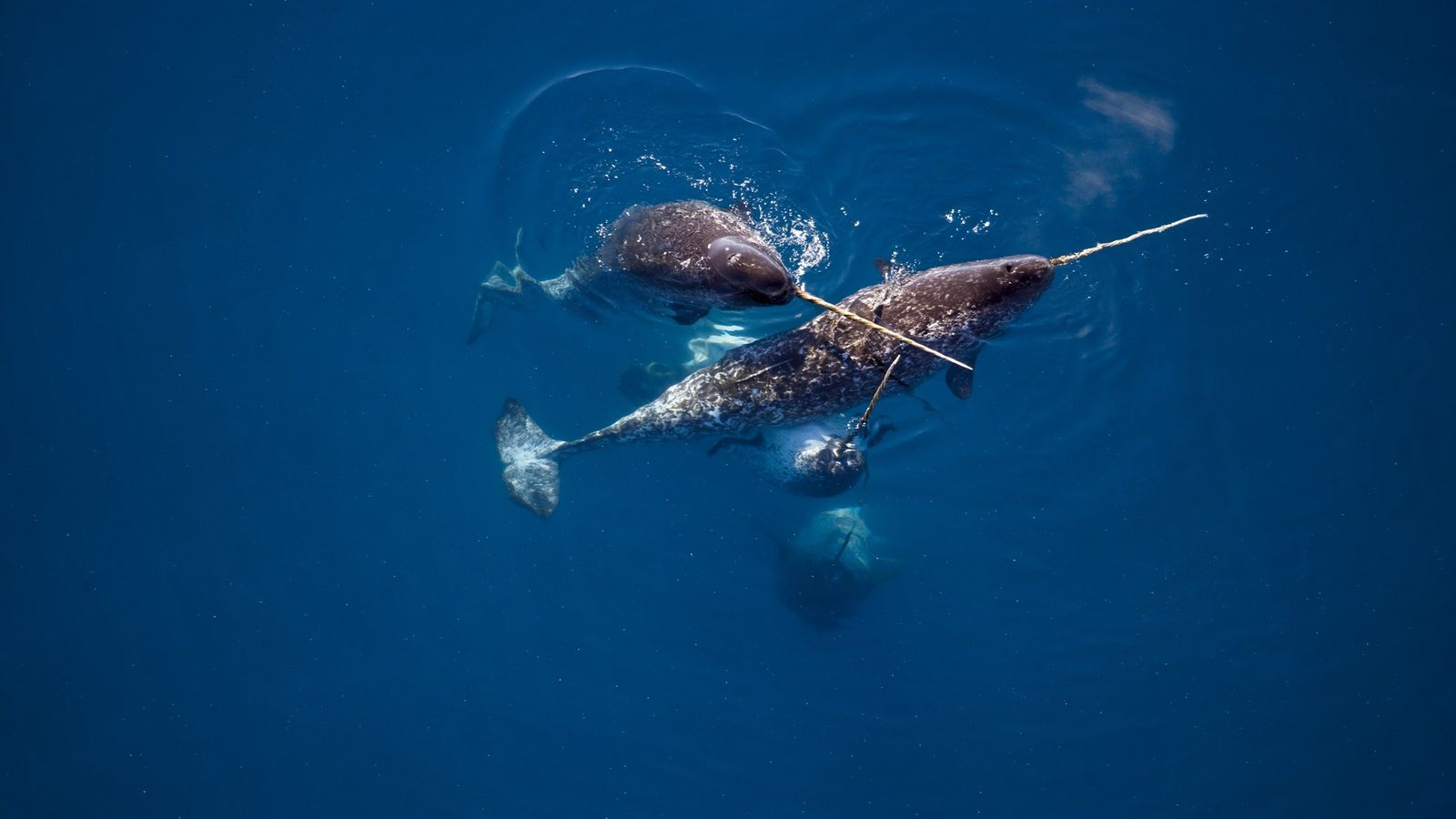 Near Canada's Admiralty Inlet, narwhals display their tusks, which can grow up to ten feet long.