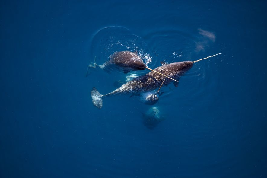 Kids are obsessed with narwhals. Here's where they live.