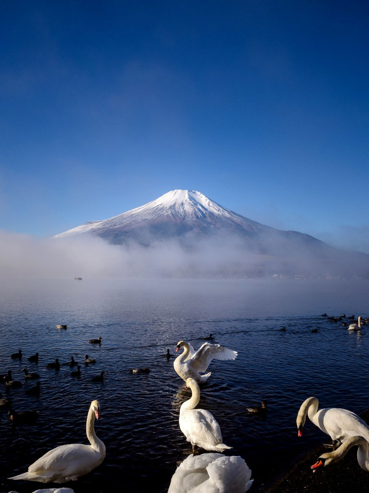 Visitors have a chance to see swans dancing in front of Mount Fuji from Lake Yamanaka. ...