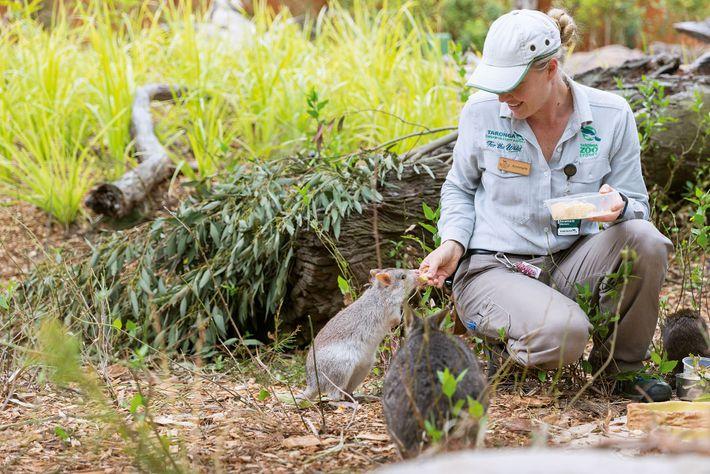 A zoo keeper feeds a quokka at Taronga Wildlife Retreat, Sydney.