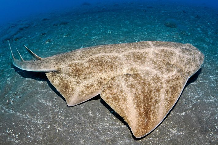 The bottom-dwelling angelshark is today much rarer in British waters than even a few decades ago. ...