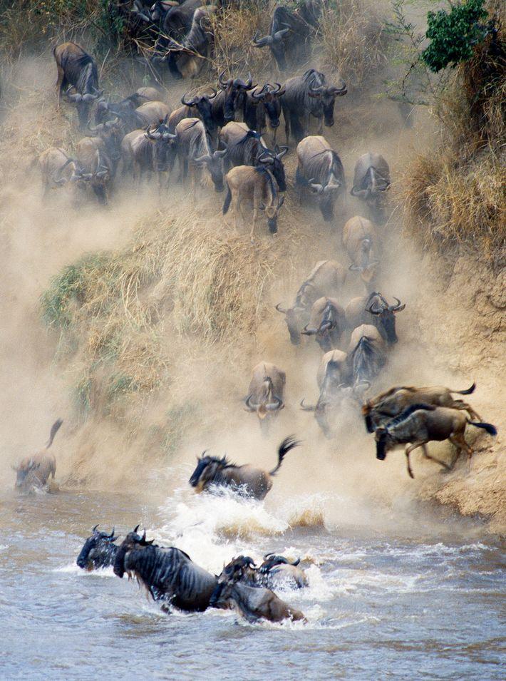 Wildebeests ford the Mara River as they cross from Tanzania's Serengeti to the Kenya's Maasai Mara ...