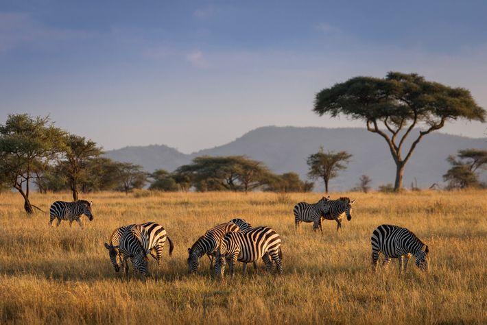 Zebra graze at Serengeti National Park.
