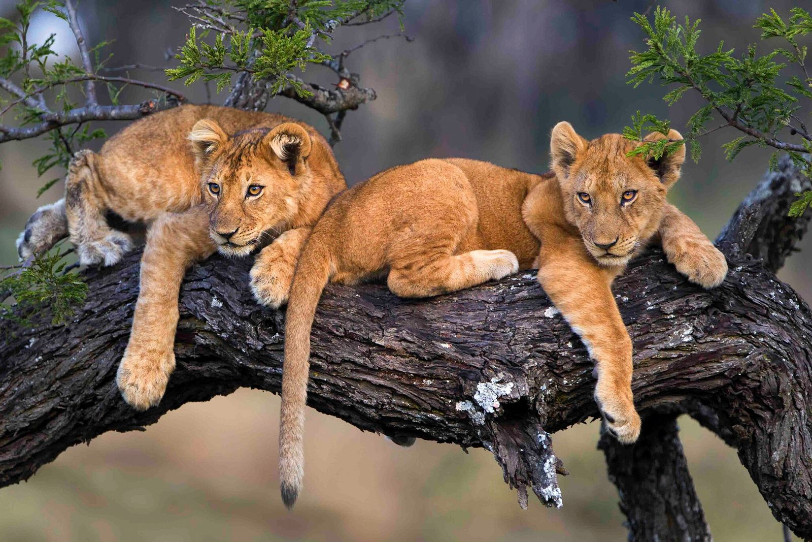 Lion cubs from the Naona pride in Moru Kopjes, in the centre of Serengeti National Park.
