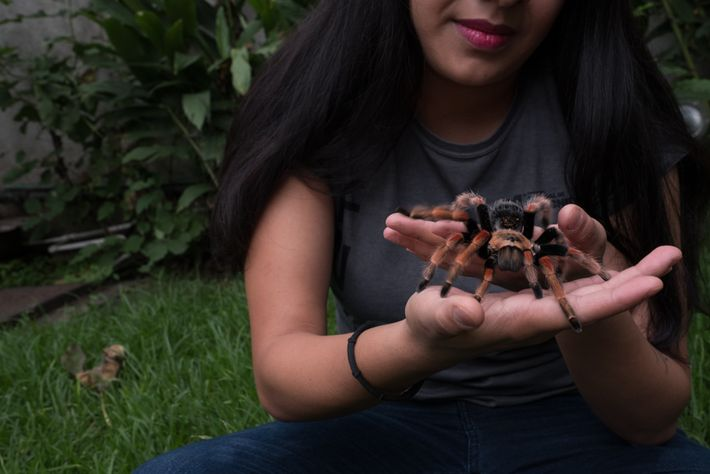 Yanei Badillo shows off her pet fireleg tarantula in Mexico City. Some collectors are on the ...