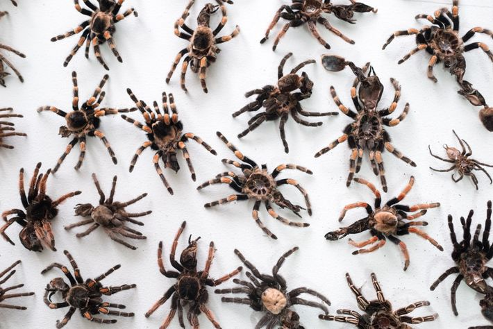 As they grow, tarantulas periodically shed their skins, leaving behind exoskeletons like these on display at ...