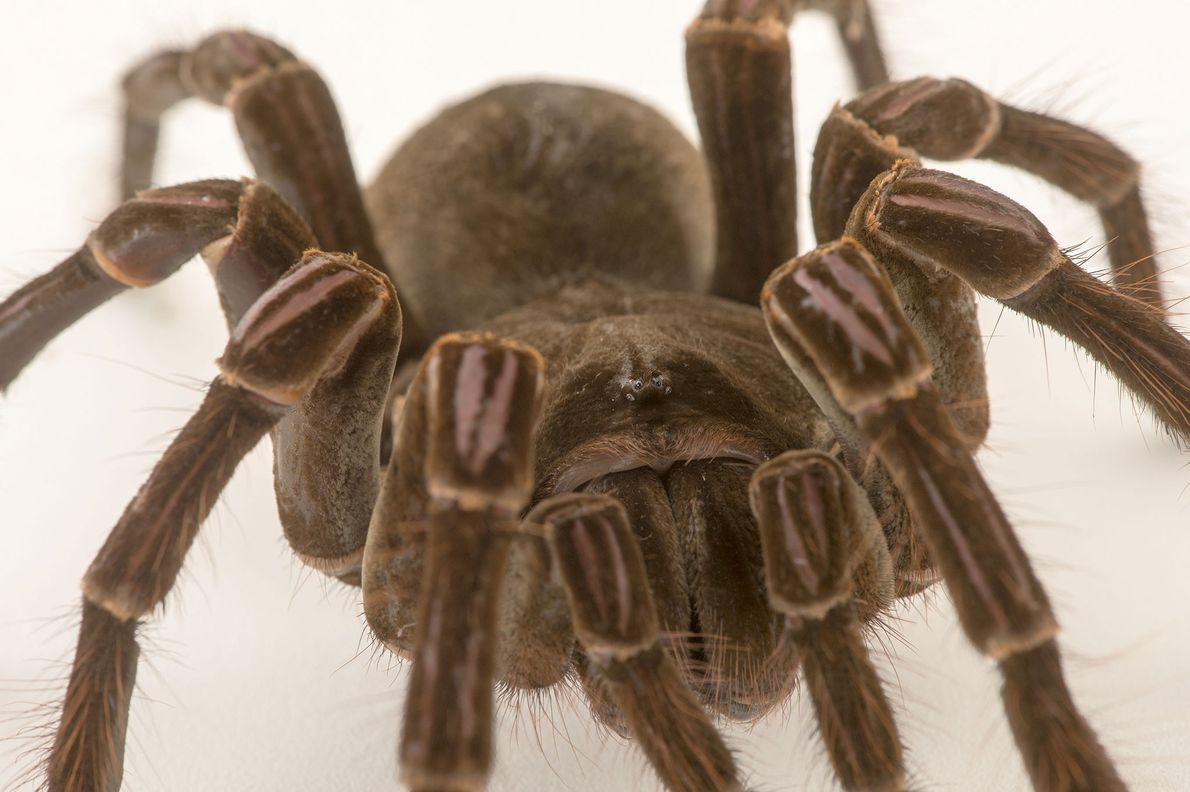 A burgundy goliath bird eater (Theraphosa stirmi) photographed at Virginia Zoo in Norfolk.