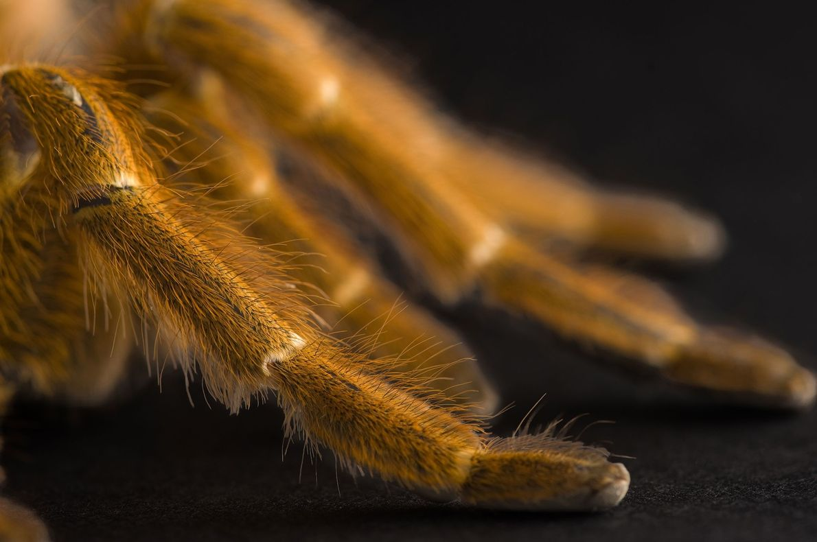 The legs of an orange baboon tarantula (Pterinochilus murinus) photographed at Great Plains Zoo in Sioux ...