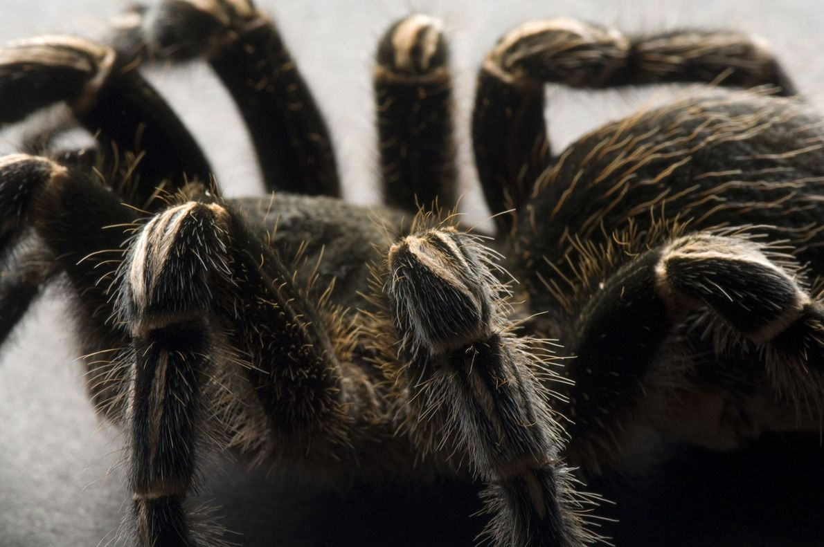A Costa Rican zebra tarantula (Aphonopelma seemanni) photographed at Great Plains Zoo in Sioux Falls, South ...