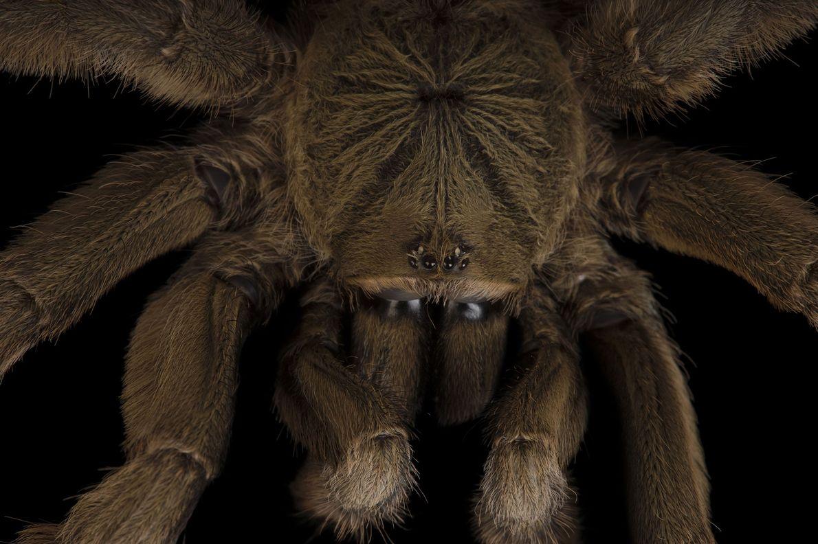 A Trinidad chevron tarantula (Psalmopoeus cambridgei) photographed at Omaha's Henry Doorly Zoo iand Aquarium in Nebraska.