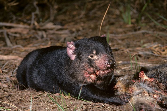 A Tasmanian devil suffering from facial cancer sits next to a carcass in Tasmania in the ...