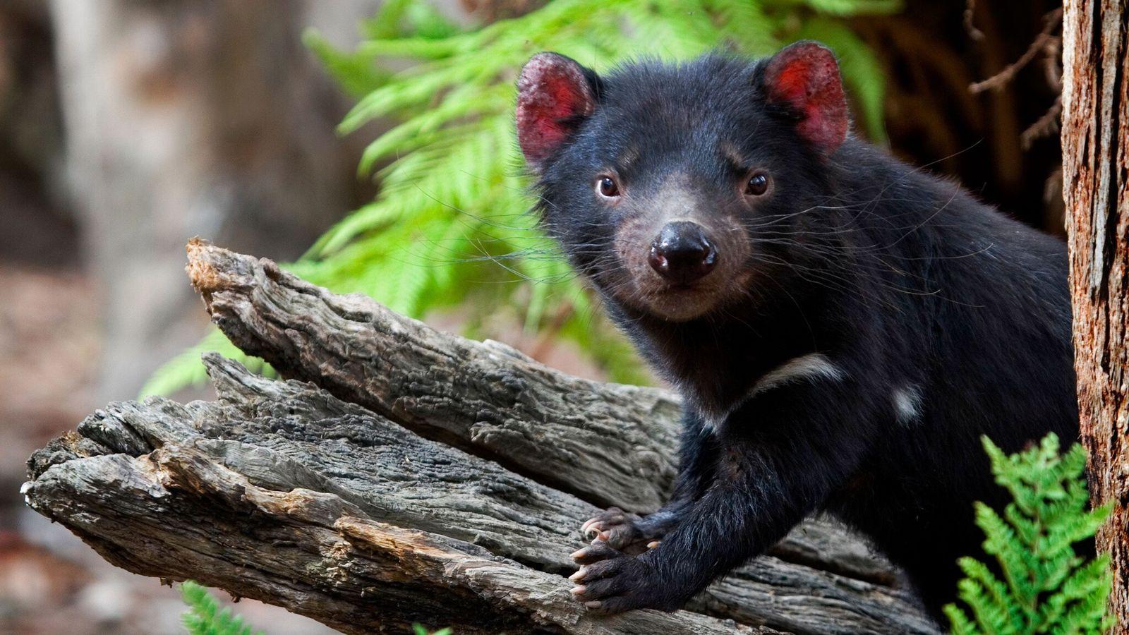 A captive Tasmanian devil poses on a log at the Something Wild Animal Sanctuary in Tasmania ...