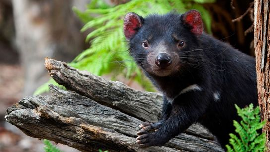 A captive Tasmanian devil poses on a log at the Something Wild Animal Sanctuary in Tasmania ...
