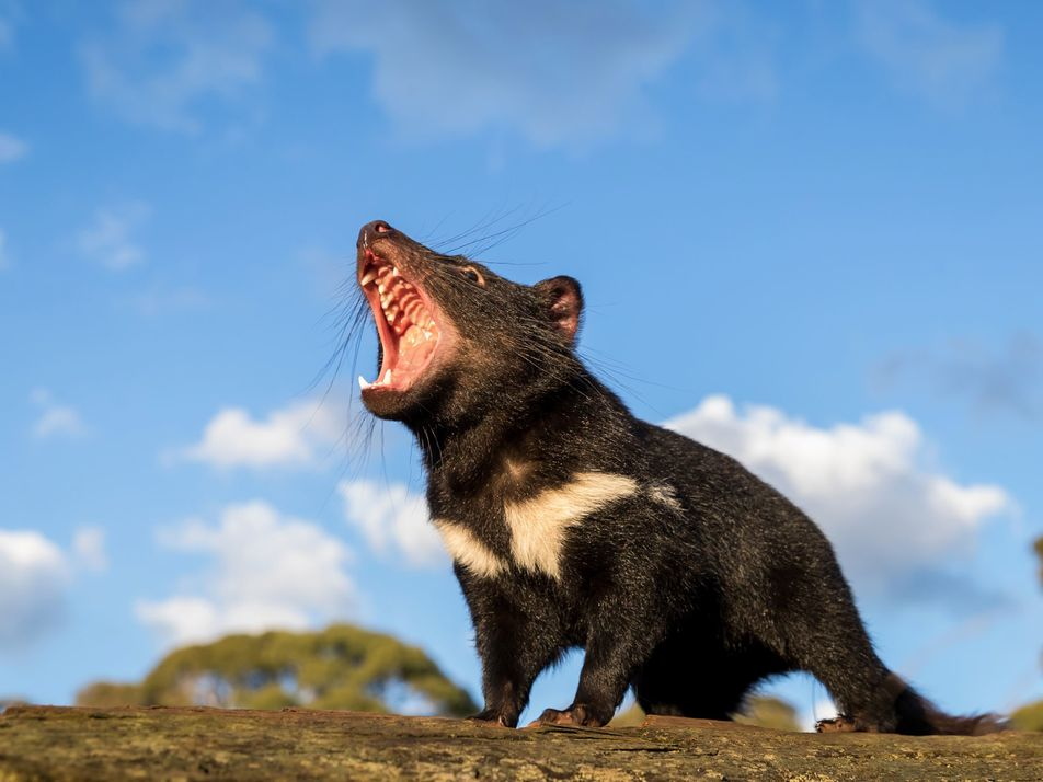 Tasmanian devils return to mainland Australia for first time in 3,000 years