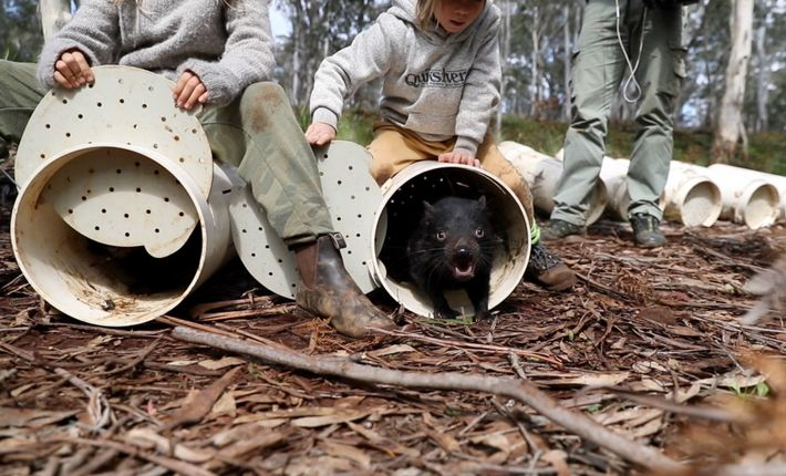 Tasmanian devils enter their new home in the eucalyptus forests of eastern Australia.