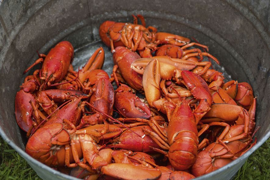 Cooked New Brunswick lobsters
