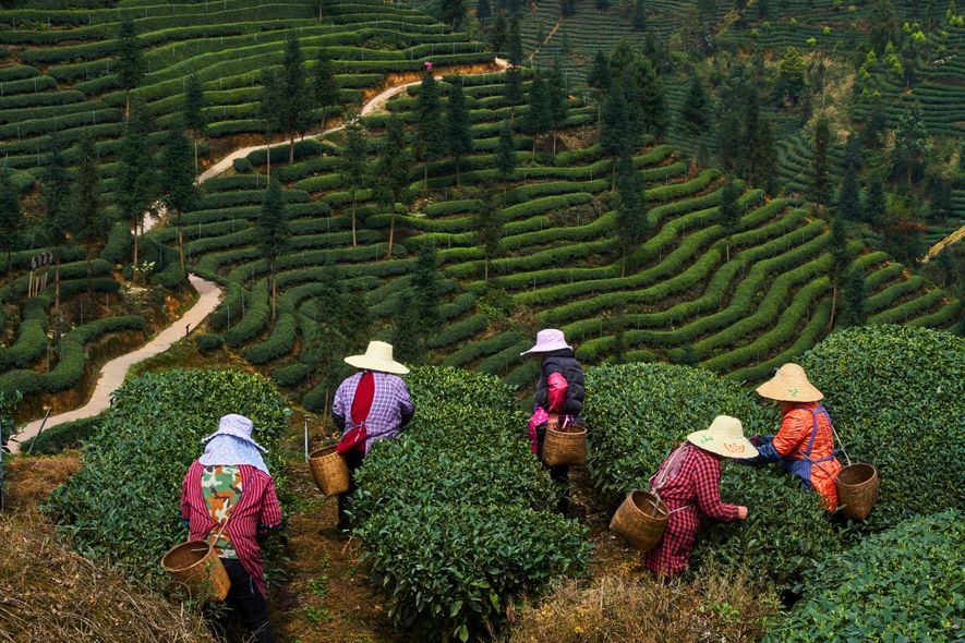 The tea plant originated in forests in and around southwestern China. Whether growing on trees in ...