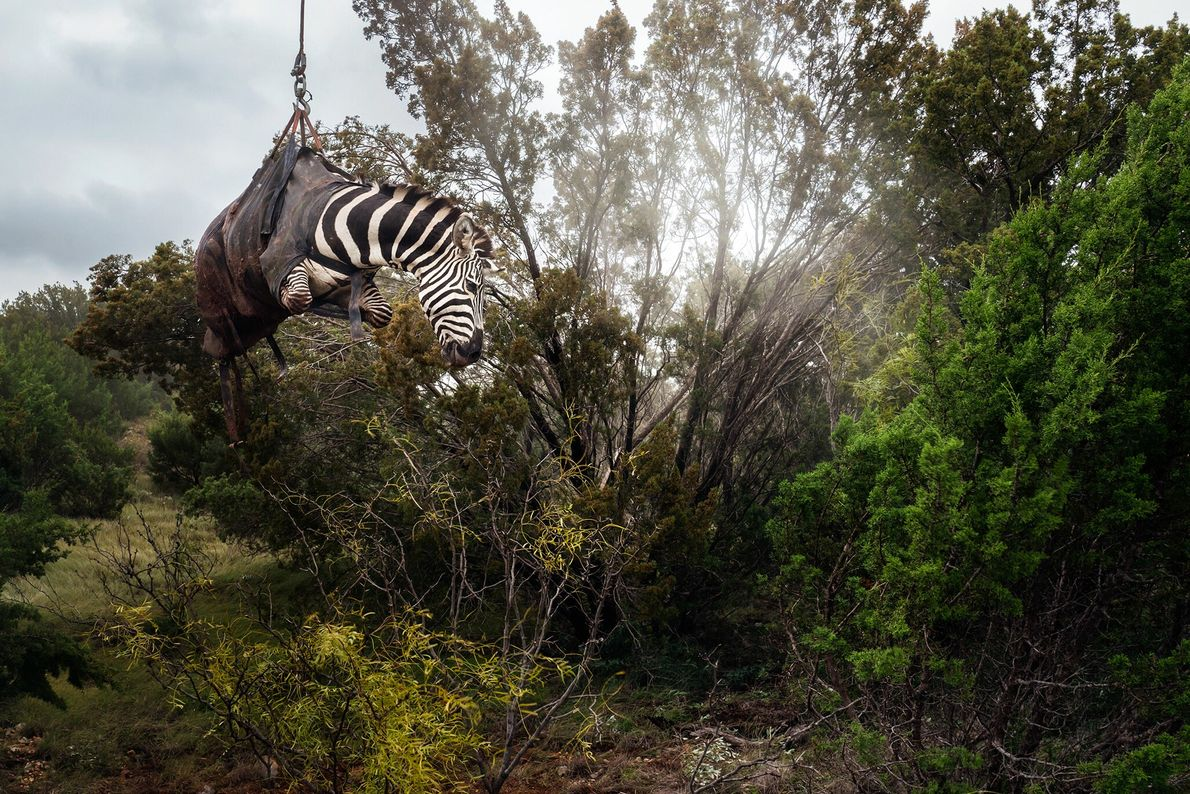 A sedated zebra is lifted by a helicopter at a Texas ranch called Sexy Whitetails, near ...