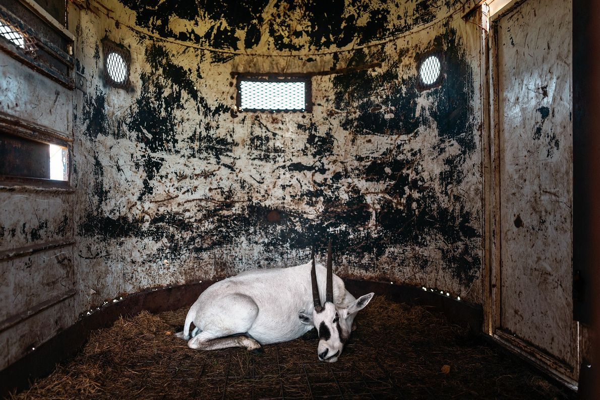 A sedated Arabian oryx in a trailer at 777 Ranch in Texas awaits transport to another ...