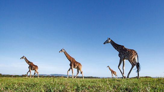 The safari industry has had to manage an enormous amount of considerations in the wake of ...
