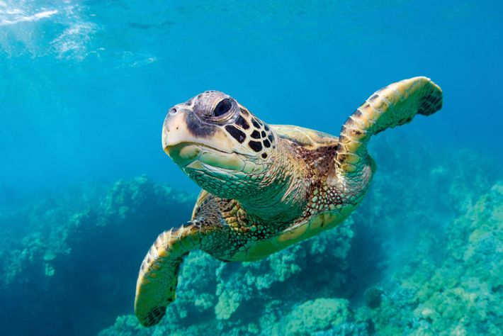Marine wildlife such as thisgreen sea turtle swimmingover a coral reef off Maui need to be ...