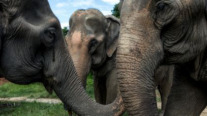 A year without tourism: crisis for Thailand's captive elephants