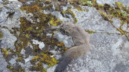 Two new species of cat-size flying squirrel discovered in the Himalaya