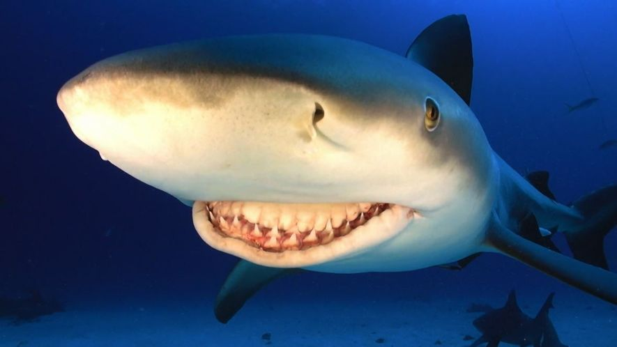 the deadly bull shark