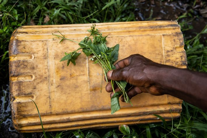 Traditional healer Jean-Louis Impasa collects medicinal plants in Lolifa. Snakebite victims often choose to visit a ...